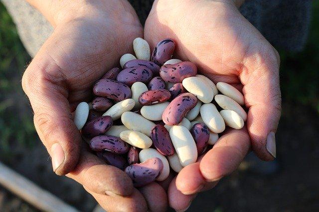 fazole v hrsti